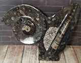 Ammonite & Orthoceras Medium Abstract Fossil Statue - D
