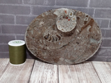 Ammonite fossil oval plate B on ggandj.com gypsy gems & jewelry with size reference