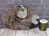 Fossil Orthoceras and Ammonite Oval Plates - Large