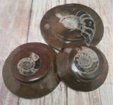 Ammonite Fossils from Morocco Premium Reptile Baskers Gypsy Gems & Jewelry Naturally Unique
