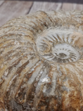 Ammonite Fossil with tracks