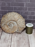 Natural Spiral Ammonite Fossil with size reference