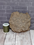 Large Coral fossil with size reference