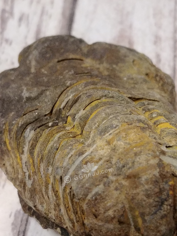 Trilobite Fossil for sale on GGandJ.com