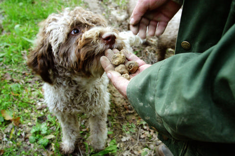 Everyday They're Trufflin': All About the National Truffle Dog Championships.