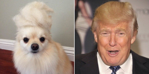 TRUMP CARD: Dogs that look like Donald