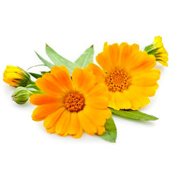 THE BEAUTY OF CALENDULA – POT-MARIGOLD