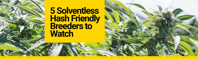 5 Solventless Hash Friendly Breeders to Watch
