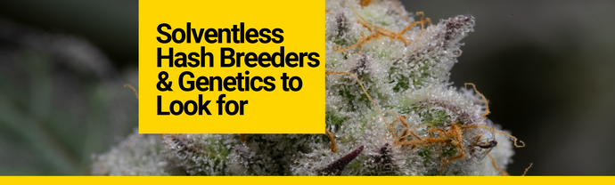 Solventless Hash Breeders & Genetics to Look for