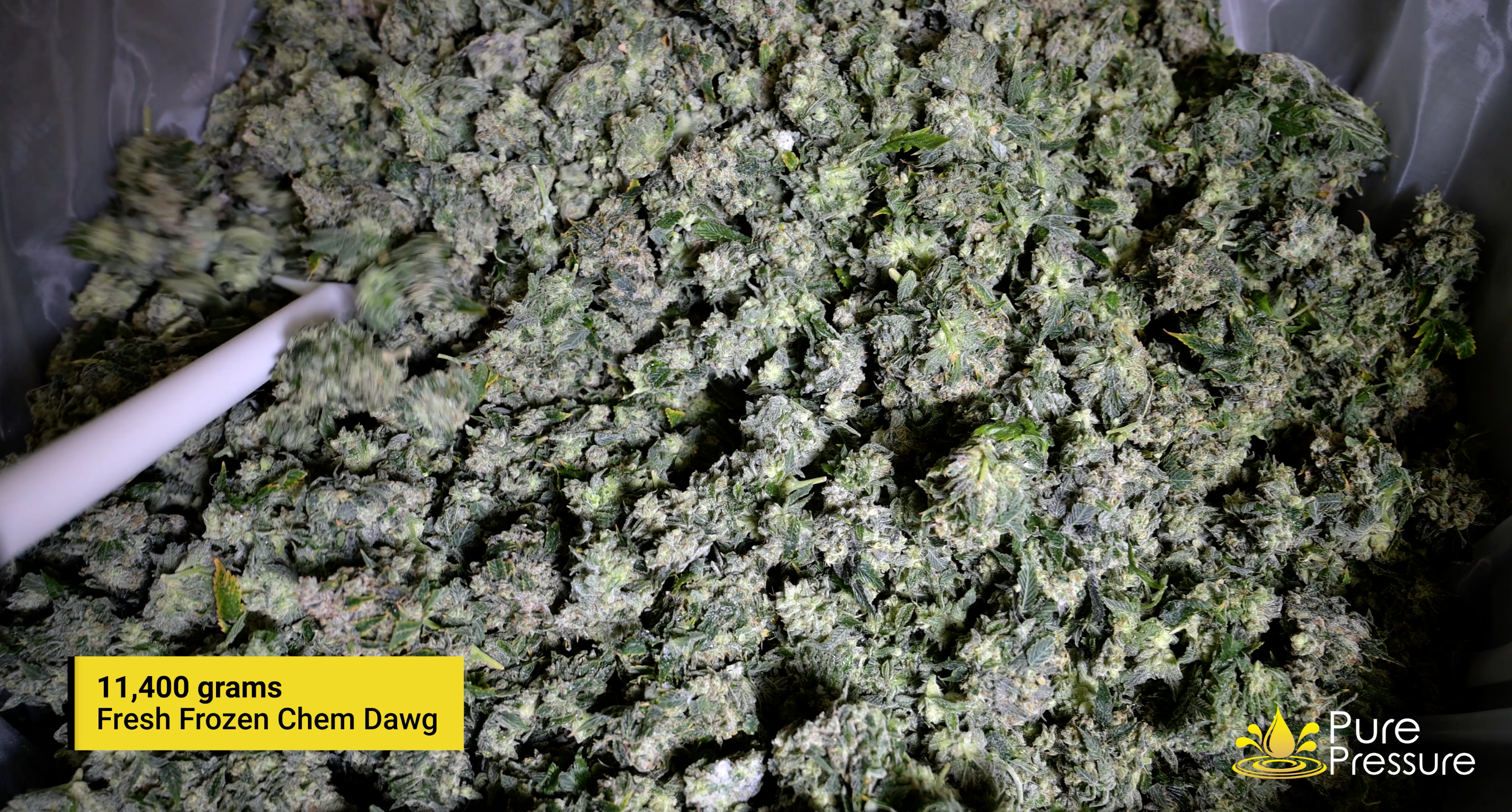 Pictured: 11,400 grams of fresh frozen chem dog from Kush Masters in Boulder, CO.