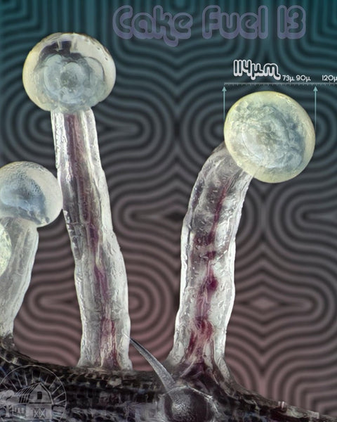 Cake Fuel 13 Trichome Heads with Micrometer measurments