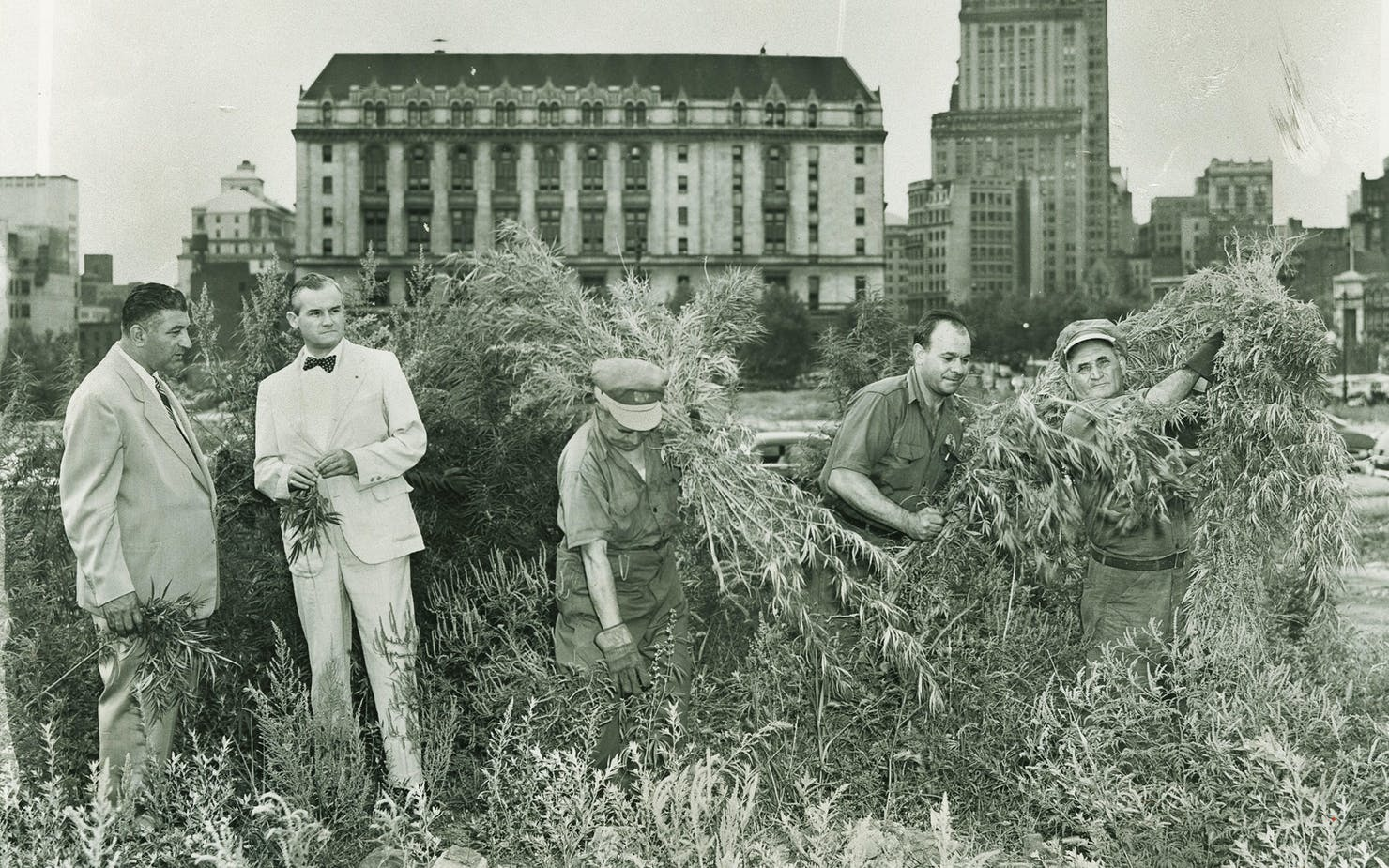 In the shadow of Brooklyn Federal Building, a new crop of marijuana is cut down by sanitation workers to rid the city of the weed. (Brooklyn Public Library)