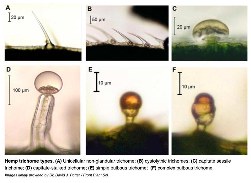hemp trichome types