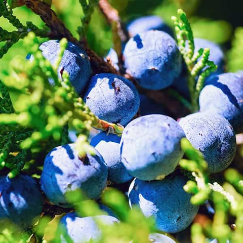 Juniper, the key ingredient to well made Gin