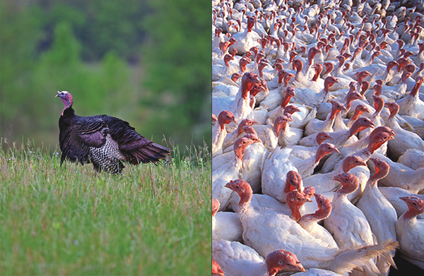 Choosing The Best Turkey Is As Simple As Black And White