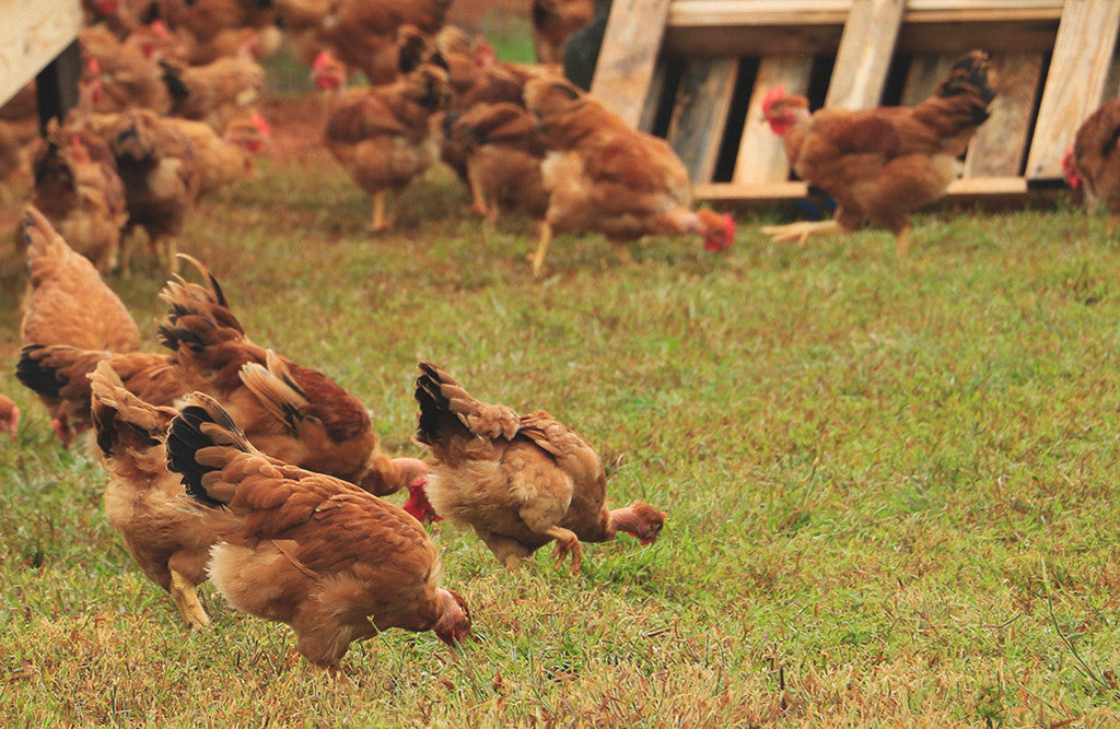 Happy Cluckers: A Day In The Life Of Our Heritage Poulet Rouge® Chickens