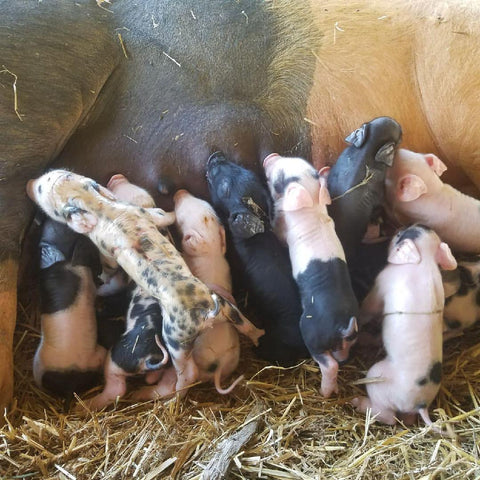 Joyce Farms GOS piglets