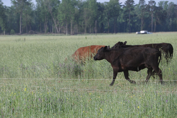 Rotational Grazing move at Joyce Farms