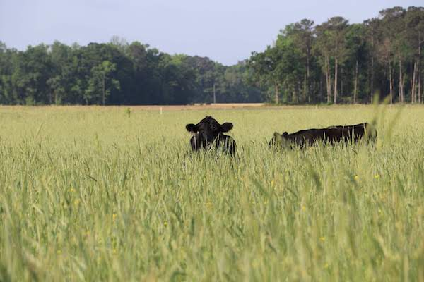 Joyce Farms Aberdeen Angus Cattle, Raised Using Regenerative Agriculture