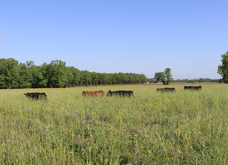 Joyce Farms Cattle on Pasture