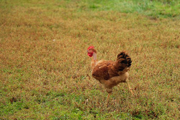 Poulet Rouge Running