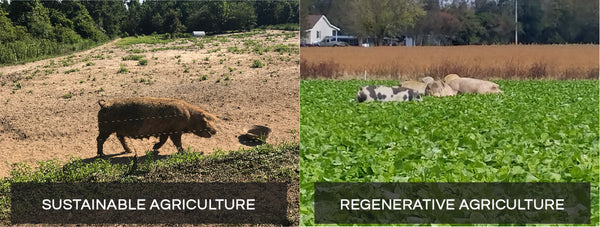 Pig farm sustainable vs regenerative