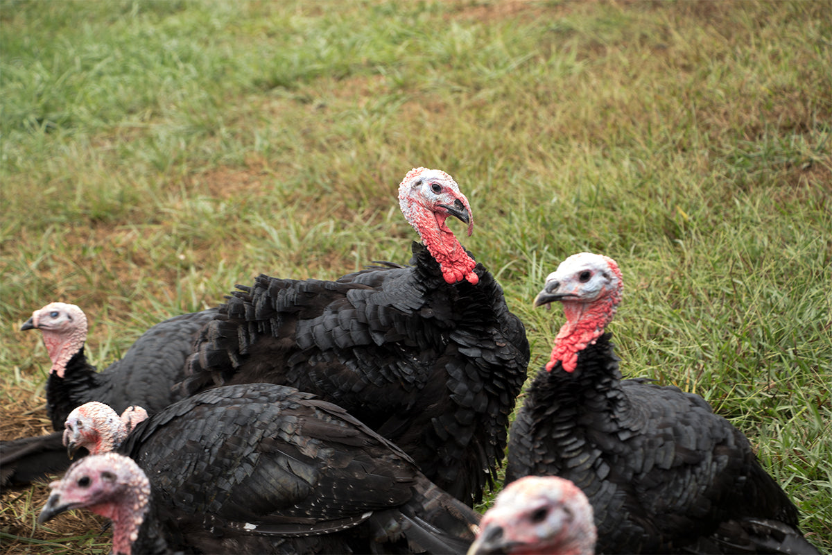 Heritage Black Turkeys