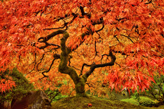 The Japanese Maple
