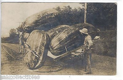 RPPC-Exaggeration Post Card-Giant Watermelons 1910 - Cakcollectibles - 1