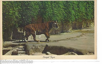 Bengal Tiger,San Antonio Zoo-Texas - Cakcollectibles