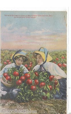 Growing Buckbee's famous Beefsteak Tomatoes for Seed on Rockford Seed Farms 1910 - Cakcollectibles - 1