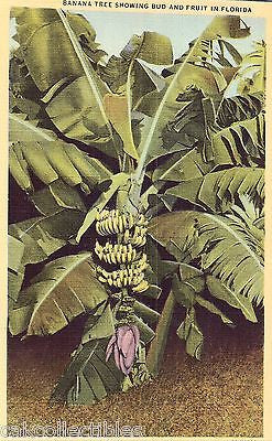 Banana Tree Showing Bud and Fruit in Florida - Cakcollectibles