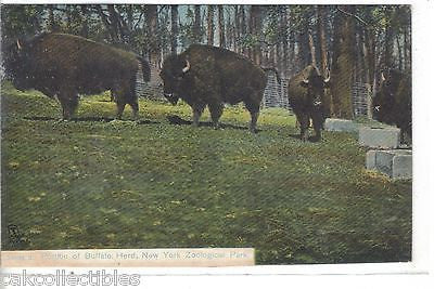 Portion of Buffalo Herd-New York Zoological Park (Tuck's) - Cakcollectibles