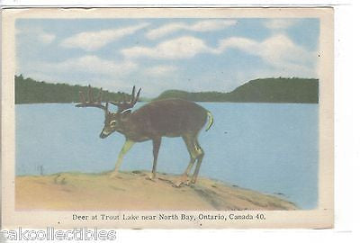 Deer at Trout Lake near North Bay,Ontario,Canada - Cakcollectibles