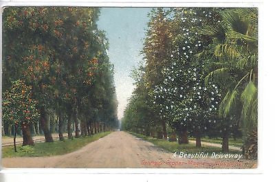 A Beautiful Driveway,Oranges-Peppers-Magnolia Blossoms-California 1909 - Cakcollectibles