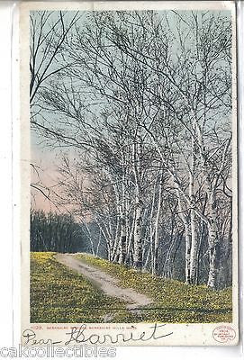 Berkshire Birches-Berkshire Hills,Massachusetts 1907 - Cakcollectibles