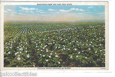 Greetings from The Pine Tree State-Field of Maine Potatoes in Bloom - Cakcollectibles