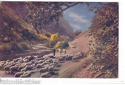 Viintage Post Card-Utah Sheep - Cakcollectibles