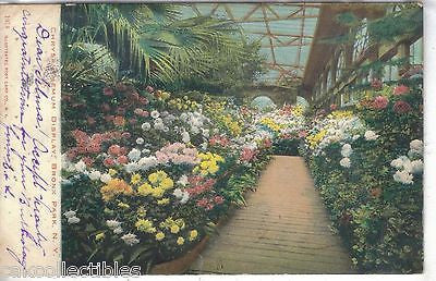 Chrysanthemum Display,Bronx Park-New York 1906 - Cakcollectibles