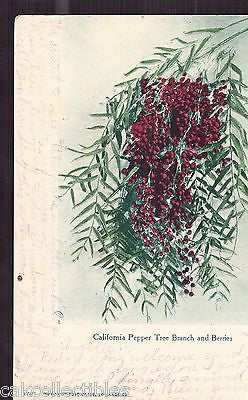 California Pepper Tree Branch and Berries 1907 - Cakcollectibles