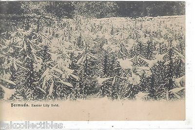 Easter Lily Field-Bermuda 1907 - Cakcollectibles
