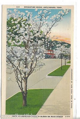 Dogwood Trees in Bloom on Main treet-Gatlinburg,Tennessee - Cakcollectibles