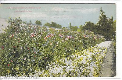 A Hedge of Sweet Peas and German Flock-Redondo Beach,California - Cakcollectibles