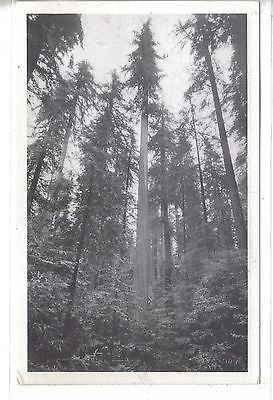 "World's Tallest Tree-""Founders Tree"" in The Redwood Empire of California - Cakcollectibles"