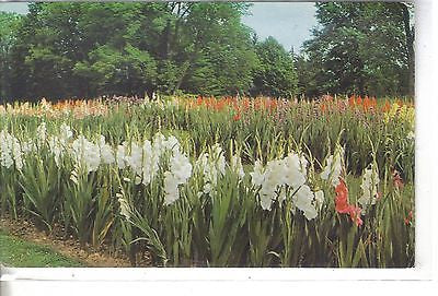 Gladiolus - Kingwood Center, Mansfield, Ohio - Cakcollectibles