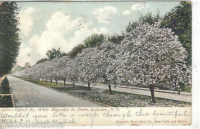 White Magnolias in Bloom,Oxford Street-Rochester,New York 1906 - Cakcollectibles