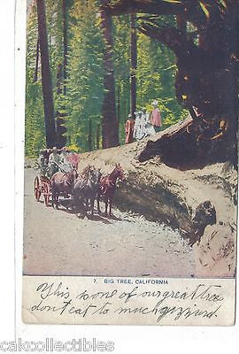 Horse and Buggy-Big Tree,California 1909 - Cakcollectibles