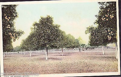 Early Post Card of An Orange Grove - Cakcollectibles