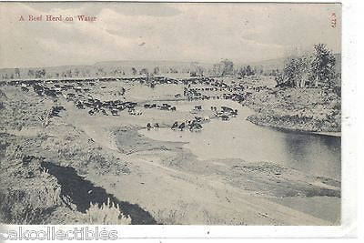 A Beef Herd on Water-Montana - Cakcollectibles