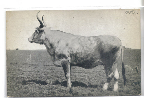 """Lone Star"" The Largest Living Cow on Earth-Texas old postcard front"